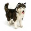Товар Собака породы Сибирский Хаски Hansa 40 см, купить за 3 634руб.